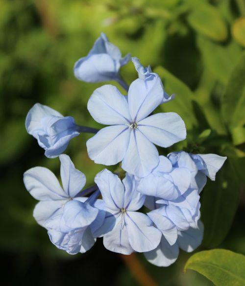 plumbago auriculata blue plumbago nature