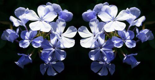 Plumbago Flower Repeat