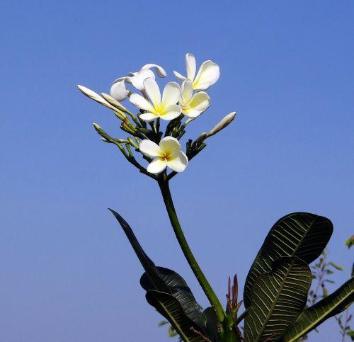 plumeria,balta frangipani,gėlė,atogrąžų,Hubli,Indija