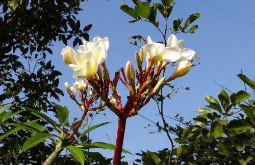 plumeria,paprastas baltas frangipanas,gėlė,atogrąžų,Hubli,Indija