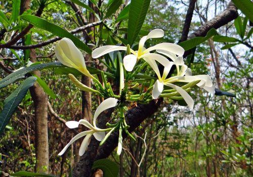 plumeria frangipani narrow petal frangipani
