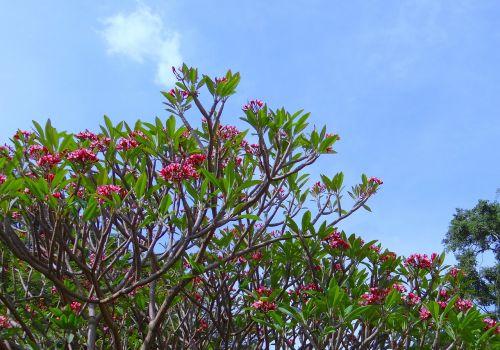 plumeria,raudona,Frangipani,plumeria rubra,gėlė,medis,botanikos sodas,lalbagh,bangalore,Indija