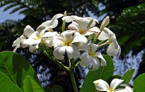 plumeria frangipani apocynaceae