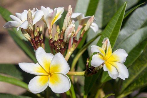 plumeria alba  garden  decoration
