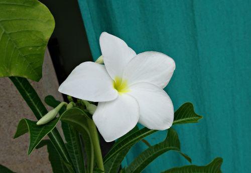 plumeria pudica flower plumeria