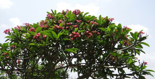 plumeria rubra frangipani red frangipani