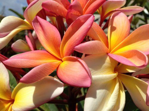 plumeria tricolor madeira fragrance