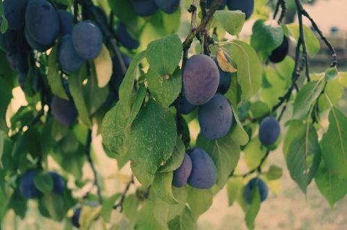 plums fruit plum tree