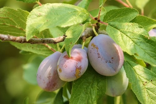 plums  fruit  stone fruit