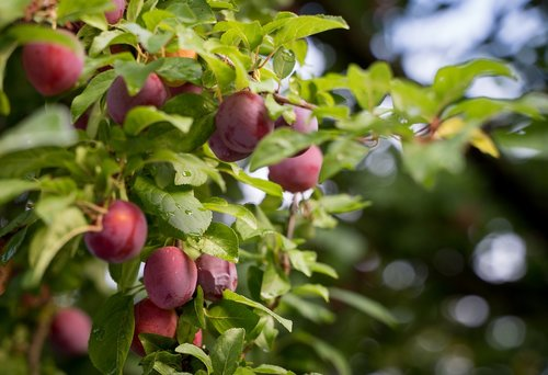 plums  pflauembaum  plum tree