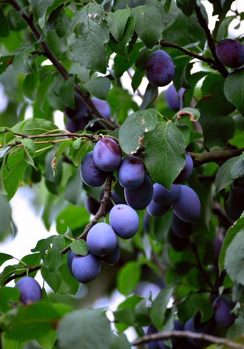 plums  fruit  fruits