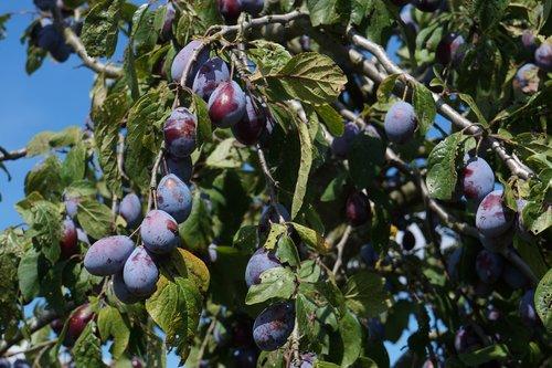 plums  fruit  fruits