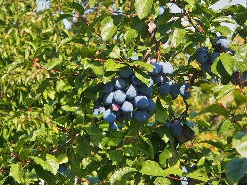 plums  fruit  blue