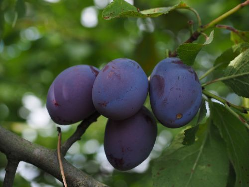plums plum tree fruit