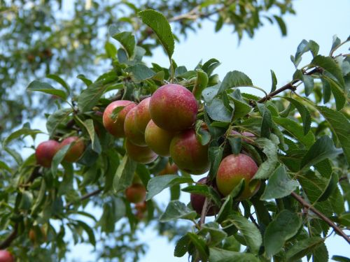 plums plum tree branch