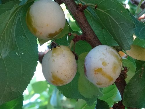 plums bees plantation