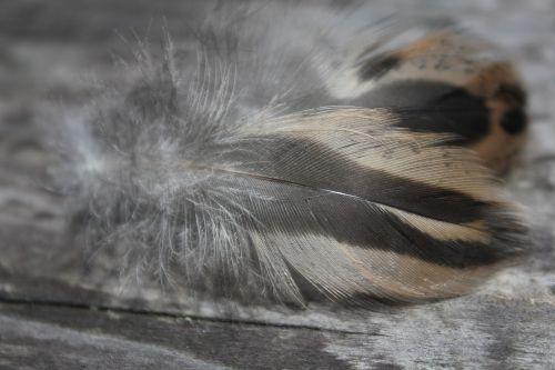 plumule feathers fine