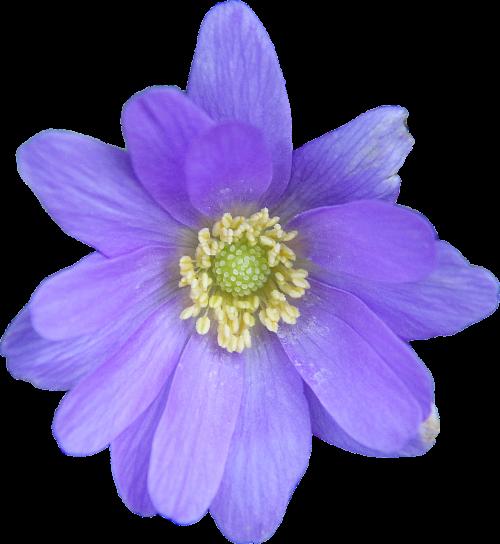 png clipping anemone blanda