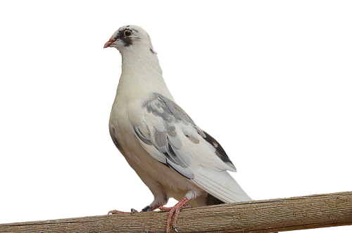 png paloma white dove