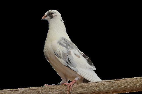 png paloma white dove
