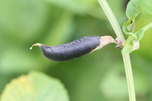 pod bean beans good