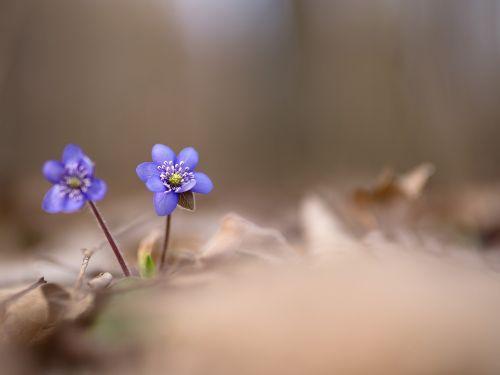 podléška liverwort spring