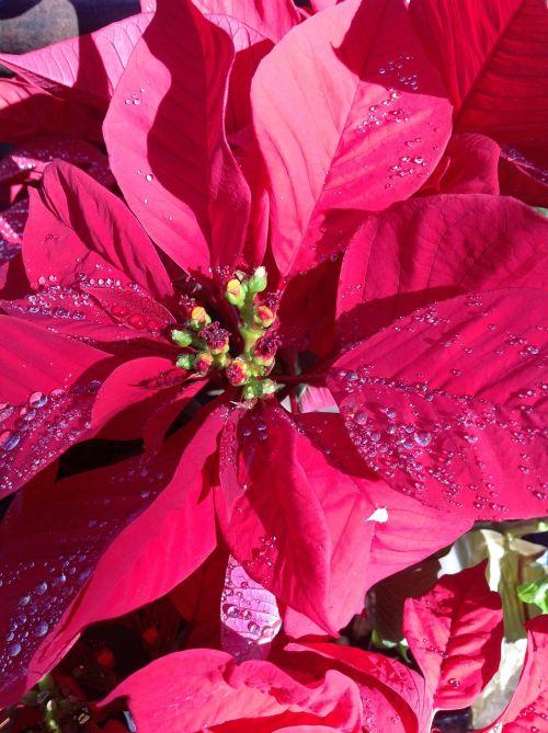 poinsetta christmas flowers