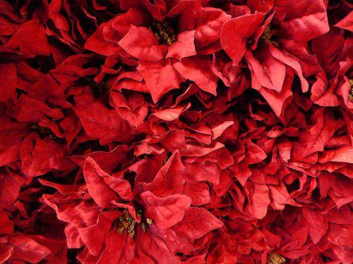 Poinsettia Background For Christmas