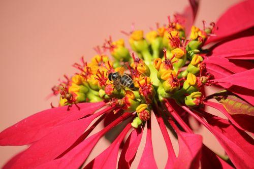 poinsettia bee flower