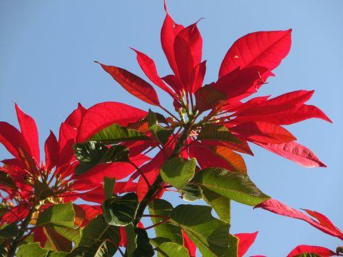 poinsettia euphorbia pulcherrima red