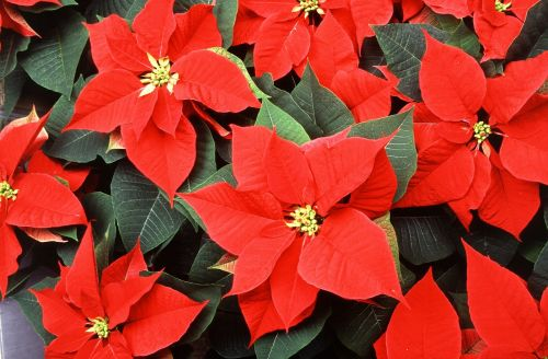poinsettia flowers red