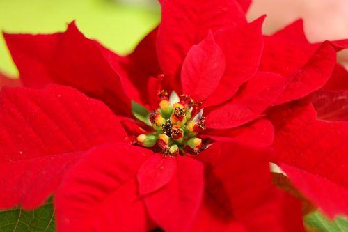 poinsettia flower blossom