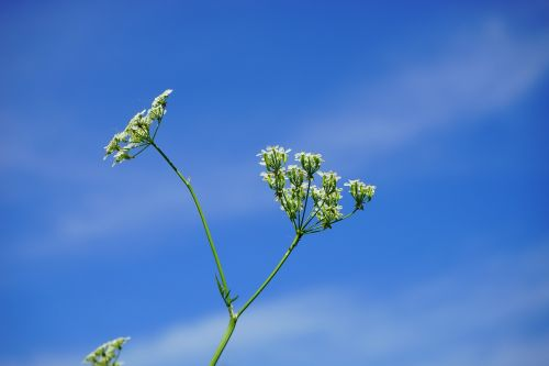 pointed-chervil inflorescence flowers