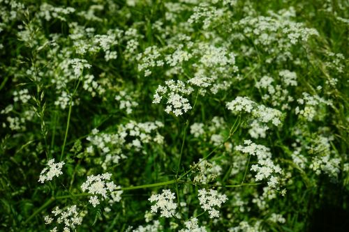 pointed-chervil flowers white