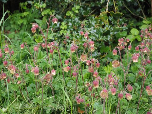 pointed flower avens geum rivale