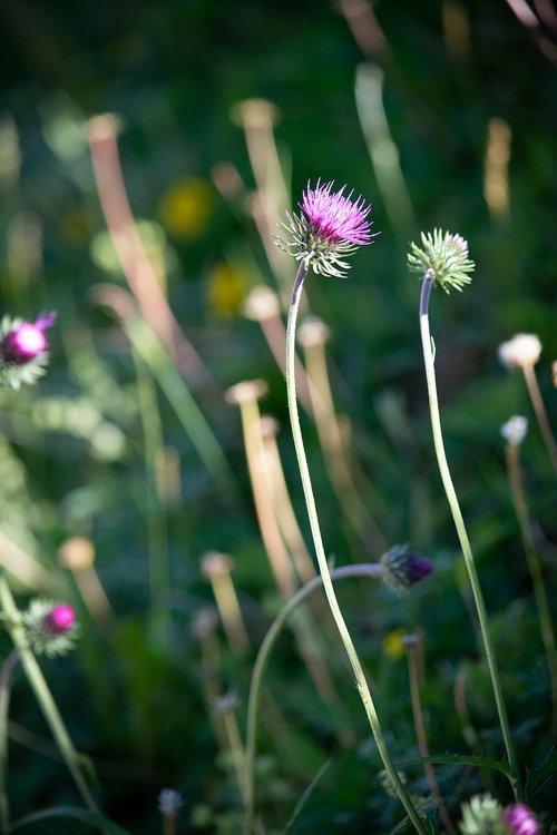 pointed flower  purple  pink