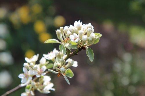 poirier  flower of pear  spring