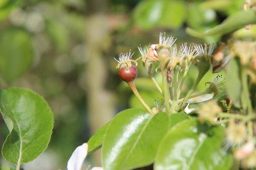 poirier  small pear  garden