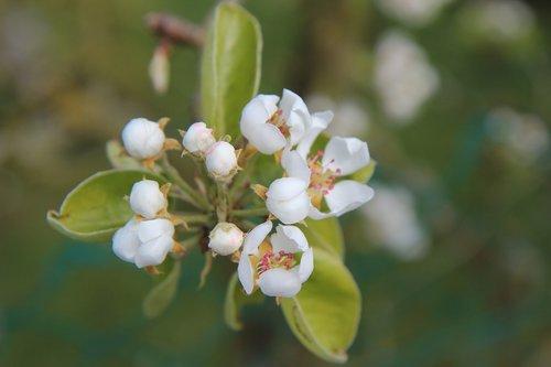 poirier  flowering pear tree  fruit
