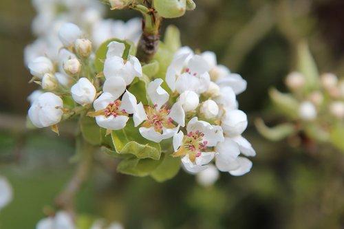 poirier  flowering pear tree  pear