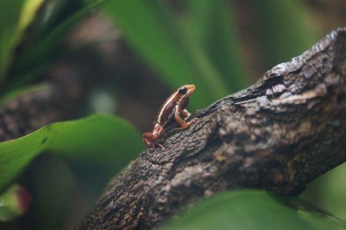 poison dart frog poison frog frog