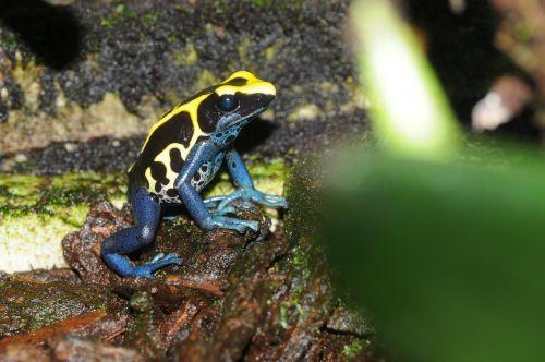 poison frog froasch amphibian
