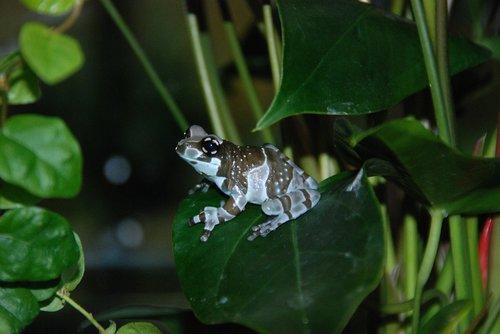 poison frog  dendrobates  cologne zoo