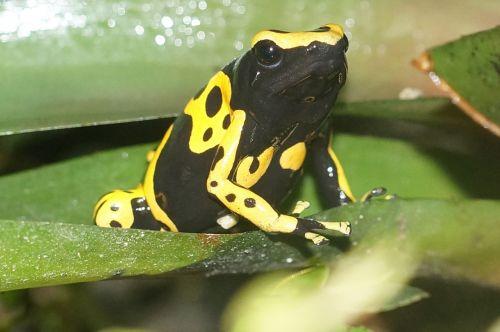 poison frog small amphibian