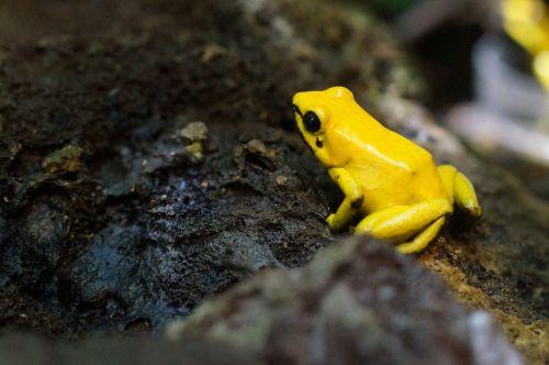 poison frog amphibian small