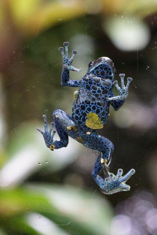poison frog frog blue