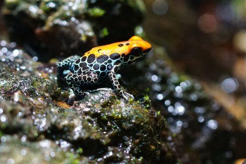 poison frog frog amphibian