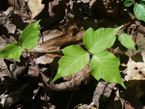 poison ivy plant leaves
