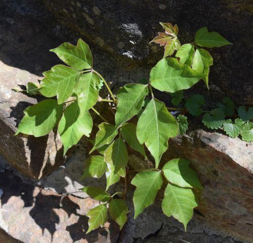 poison ivy on stone wall plant new leaves