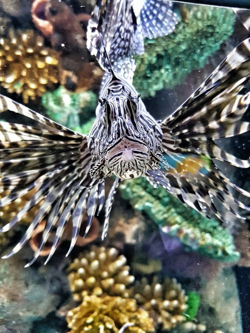 lionfish poisonous nature